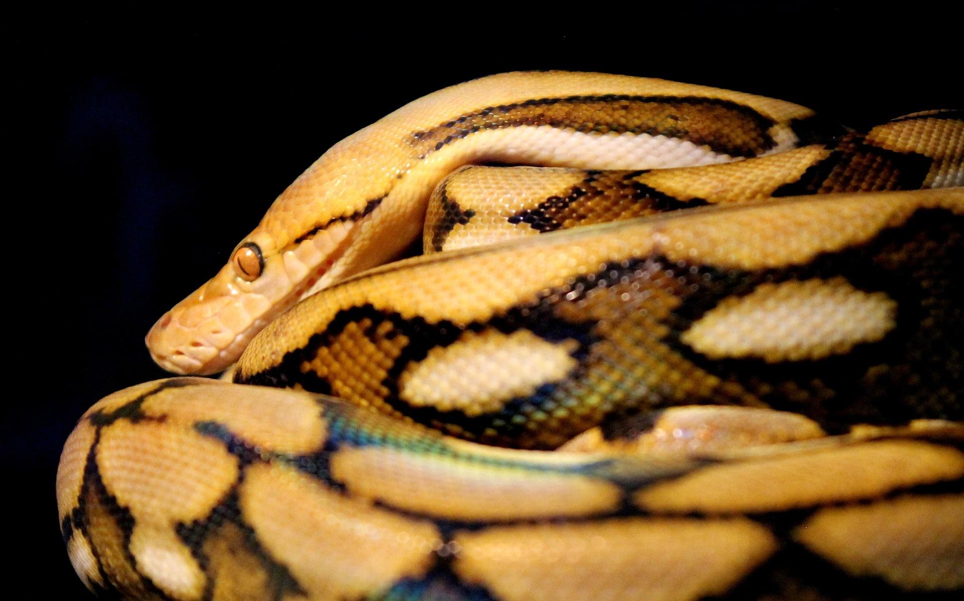 Python mort stupide